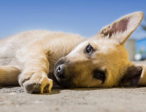 Parvovirus canino: qué es y cómo evitarlo