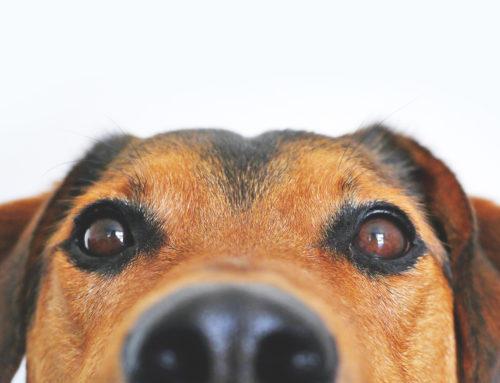 50 -curiosos- datos sobre los perros