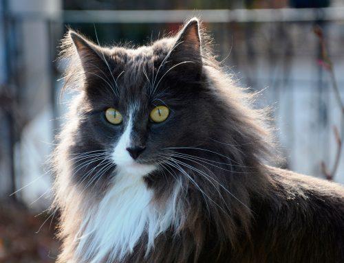 Las razas de gato más antiguas del mundo