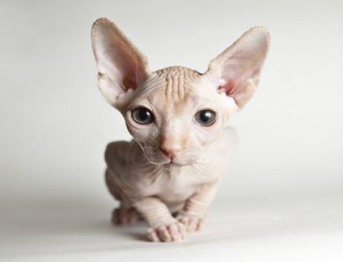 Animales curiosos: el gato Kohona