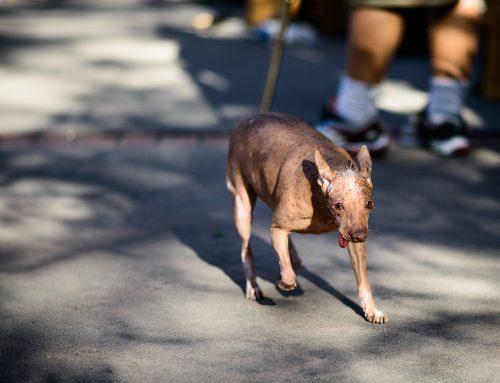Animales curiosos: Xoloitzcuintle