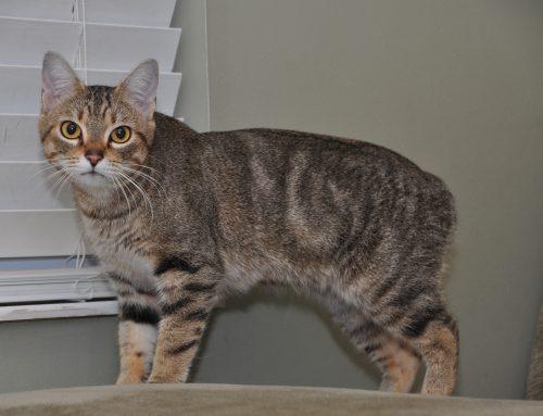 El gato Manx: un gato peculiar y con historia