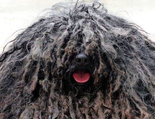 Animales curiosos: el perro Puli