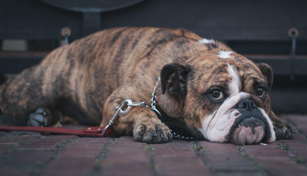 giardia resistente tratamiento perros)
