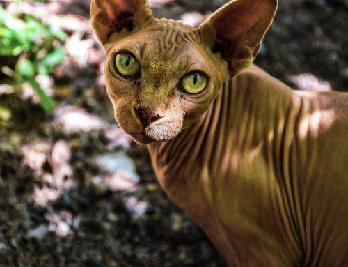 Animales curiosos: El gato Donskoy
