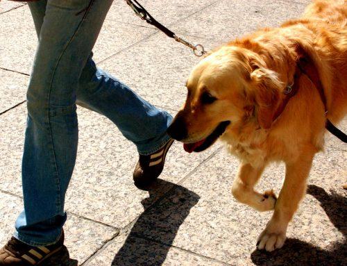 El gran corazón de los perros guía