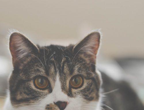 ¿Cómo detectar la otitis felina?