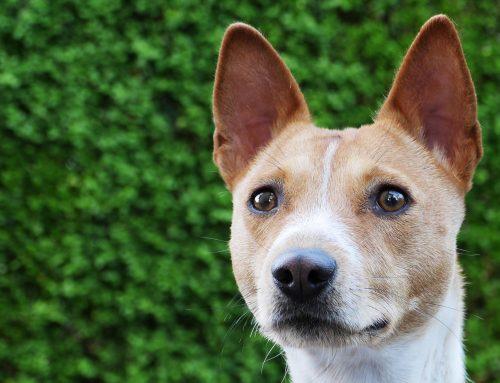 La raza de perro que no ladra: Basenji