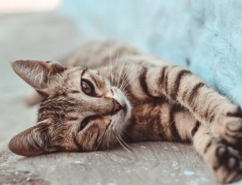 ¿Conoces los síntomas del asma felina?