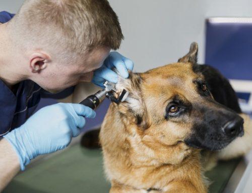 Prevenir la otitis en tu perrín