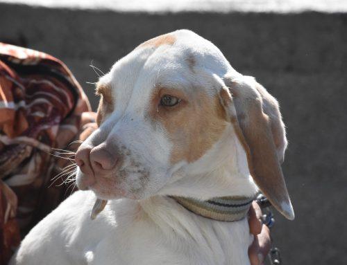 Animales curiosos: el perro Catalburun