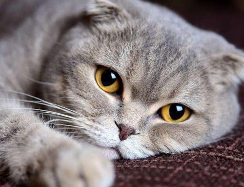 Razas raras de gatos