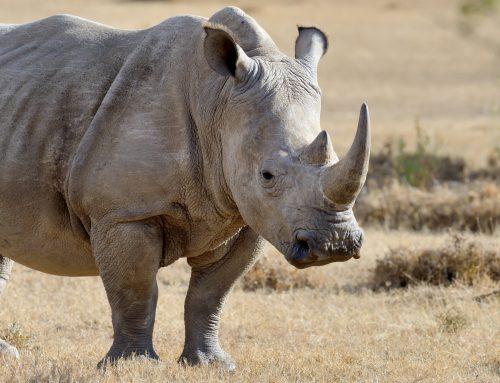 Día Mundial del Rinoceronte