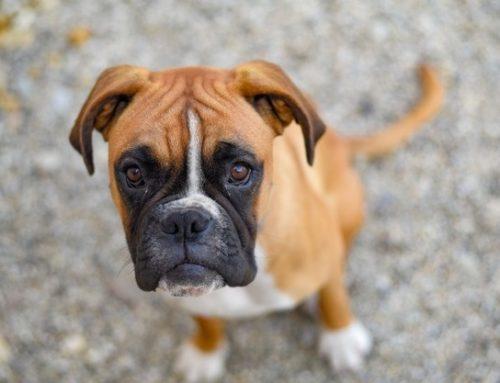 El asma en perros